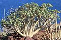 La Palma - Brena Baja - Los Cancajos-LP-5 - Mirador del Aeropuerto - Euphorbia balsamifera 02 ies.jpg