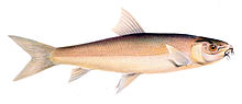 Labeo capensis.jpg