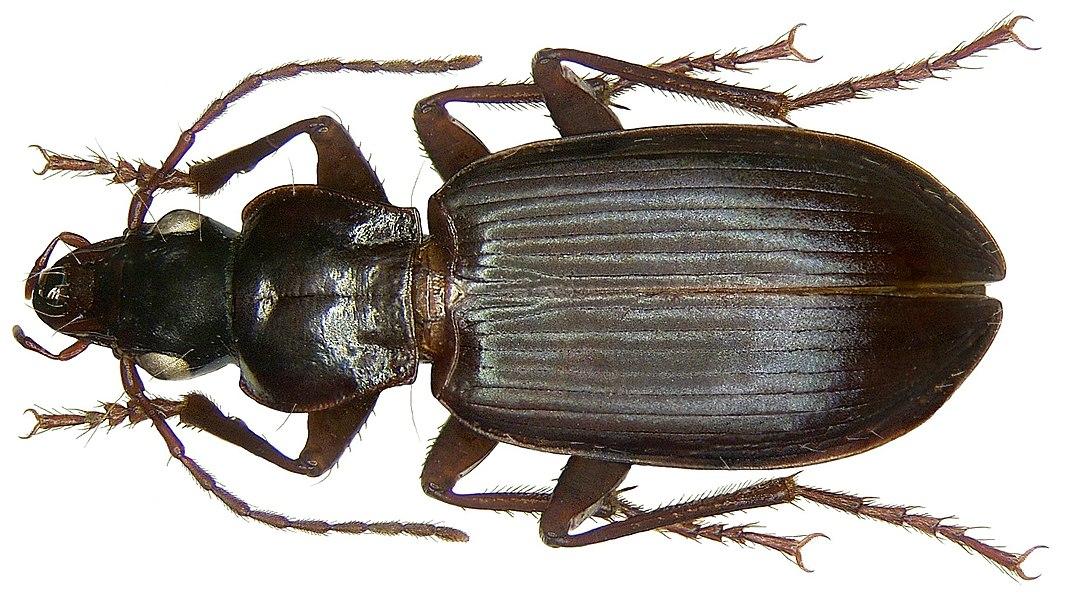 Familie: Carabidae Größe:  11-16 mm Verbreitung: Kosmopolit Ökologie: eurytop Fundort: Frankreich, Bretagne, Roskott leg. Winkler, 1973; det. H.J.Mager Foto: U.Schmidt, 2008