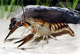 Lagniappe Crayfish (14174285151).jpg