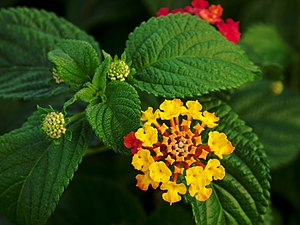 Flower and leaves of Lantana camara