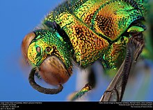 Large cuckoo wasp (Chrysididae, Stilbum cyanurum (Foerster)) (35848912063).jpg