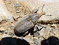 Larinus species. - Flickr - gailhampshire (1).jpg