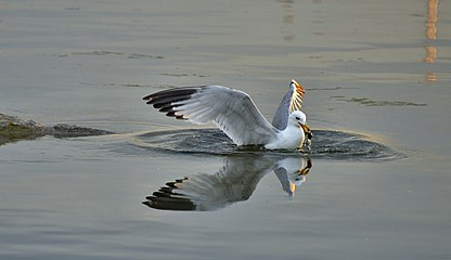 Larus delawarensis diving3.jpg