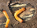 Larva of a beetle of the family of Fire-Coloured Beetle Pyrochroidae Lamiot 12.JPG