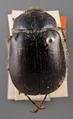Lasiocala arrowi paratype 1 dorsal.tif