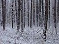 Lasy przyjezierskie - panoramio.jpg