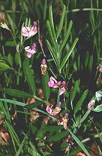 Lathyrus linifolius 01