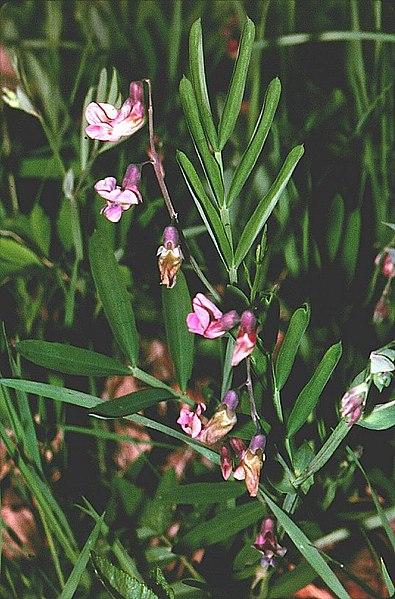 File:Lathyrus linifolius 01.jpg