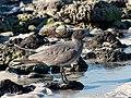 Lava Gull between Rocks.jpg