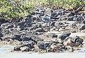 Lava Gulls (40829781263).jpg