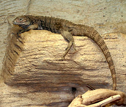 A juvenile brownish colored Cuban iguana basking in an enclosure in a zoo, facing left with its long tail hanging below the basking log.
