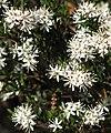 Leionema lamprophyllum.jpg