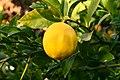 Lemon 1 2017-11-19.jpg