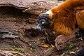 Lemur (36476831511).jpg