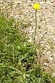 Leontodon.hispidus2.-.lindsey.jpg