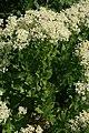 Lepidium-draba-foliage.jpg