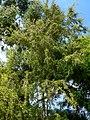 Leptospermum phylicoides 1.jpg