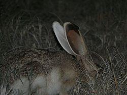 Lepus callotis side.jpg