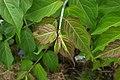Leycesteria formosa C.jpg