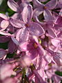 Lilacs in the Morning Sun (4545474531).jpg