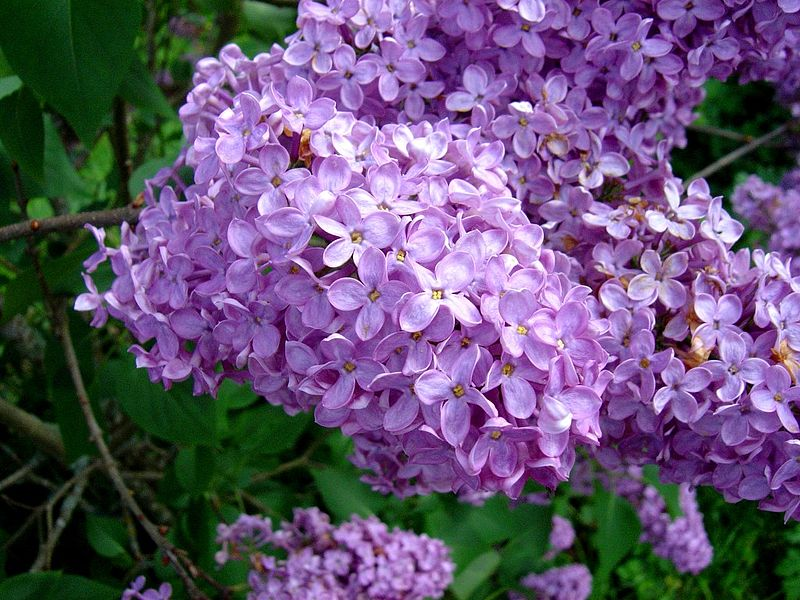 File lilas wikimedia commons - Lilas des indes blanc ...