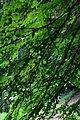 Lilienfeld - Naturdenkmal LF-021 - Parkanlage im Stift Lilienfeld - 13 - Katsurabaum (Cercidiphyllum) - Blätter.jpg