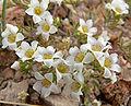 Linanthus demissus 5.jpg