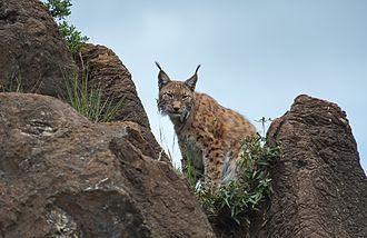 Cabarceno Natural Park - Eurasian lynx in Cabárceno