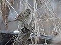 Lincoln's Sparrow (32197335005).jpg