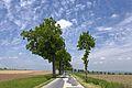 Lindenallee entlang der Landesstraße 8128 01 2016-05 NÖ-Naturdenkmal WT-071.jpg