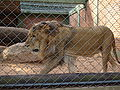 Lion 09142007.jpg