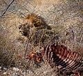 Lion just finished breakfast (43644878392).jpg