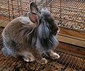 Lion mane rabbit 2 (121696069).jpg
