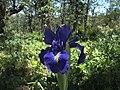 Lirio azul - Iris latifolia (18788192954).jpg