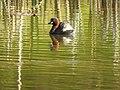 Little Grebe-local pond DSCN2378 (51126138028).jpg