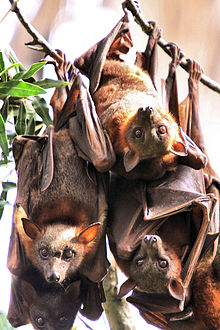 The image depicts a group of large bats hanging from a tree