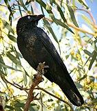 Little crow (Fifer).jpg