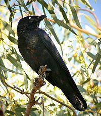 Little crow (Fifer)