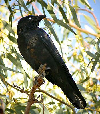 List of birds of Western Australia