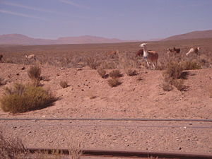 Large Latin American Millimeter Array - A group of llamas near San Antonio de los Cobres shot from a car in movement.