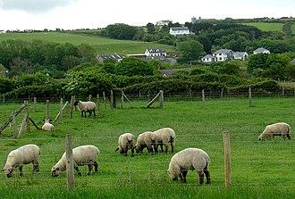 Llanon - Image: Llanon sheep