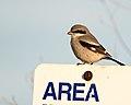Loggerhead Shrike (39422429102).jpg