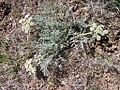 Lomatium macrocarpum-3-11-05.jpg