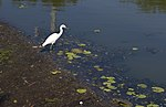 Lone Egret on Humpbybong Creek-01+ (502691754).jpg