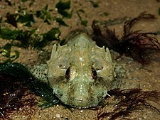 Длинноиглая рыба-скорпион.jpg