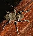 Longhorn beetle (48128062541).jpg