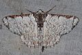 Lophophelma luteipes (Geometridae- Geometrinae) (5697515755).jpg