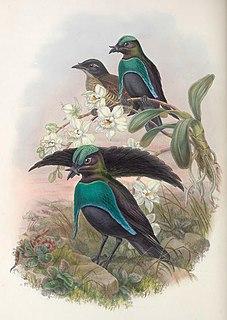 Greater lophorina species of bird