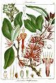 Loranthus neilgherrensis Rungiah.jpg